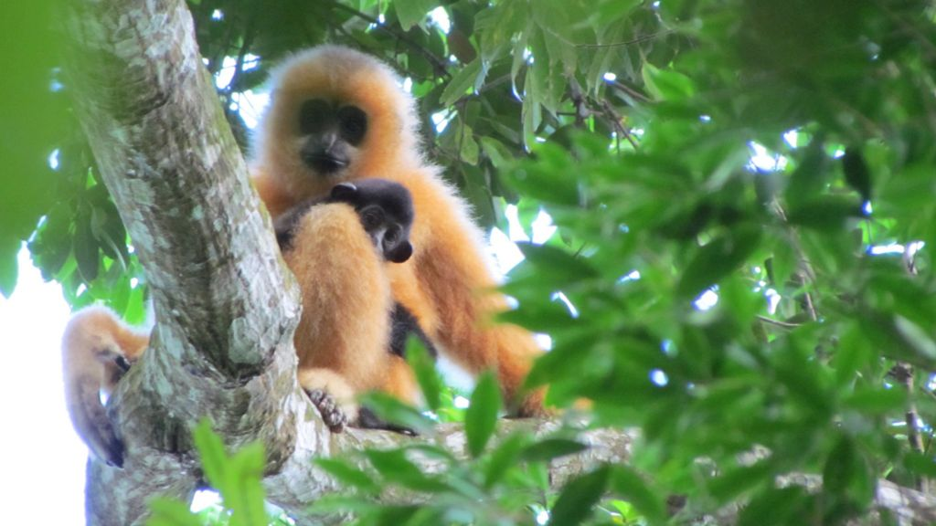 Hainan gibbon decline charted in Chinese records - BBC News
