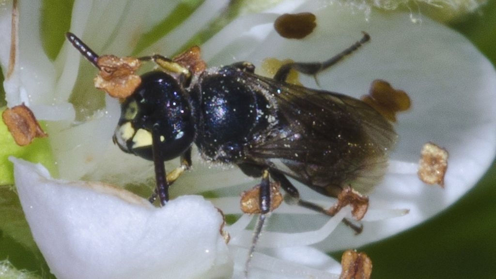 Hawaiian bees are first on US endangered species list ...