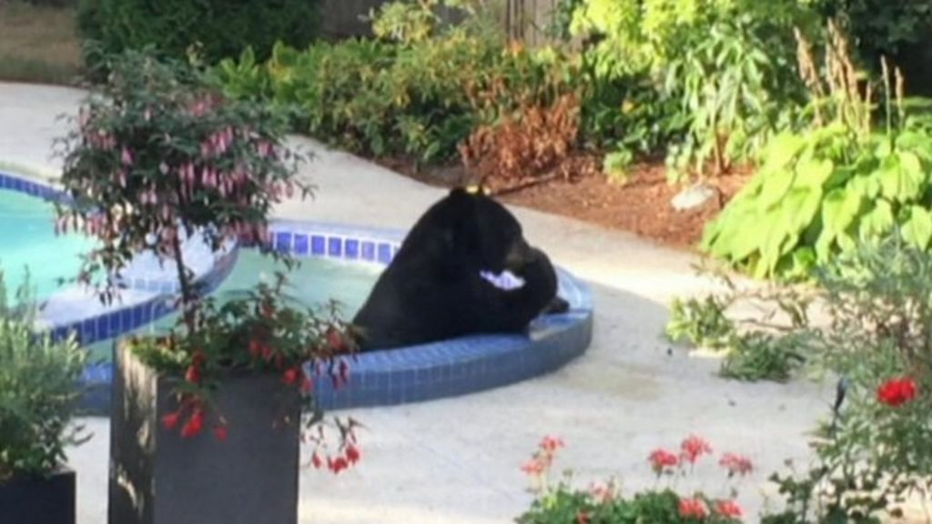 Vancouver black bear relaxes in hot tub bbc news for Bears in swimming pool new jersey