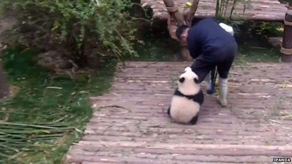 Image result for clingy panda image bbc