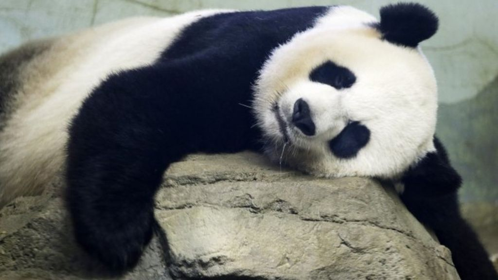Baby panda: Washington zoo's Mei Xiang delivers twins - BBC News