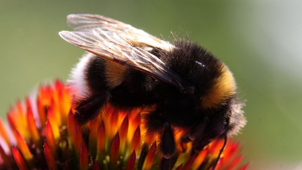 Banned pesticides 'not equally harmful' to bees - BBC News