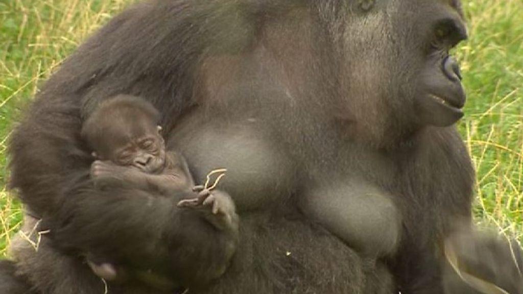 Картинки по запросу Мать-горилла не пускает к новорожденному детенышу служителей зоопарка