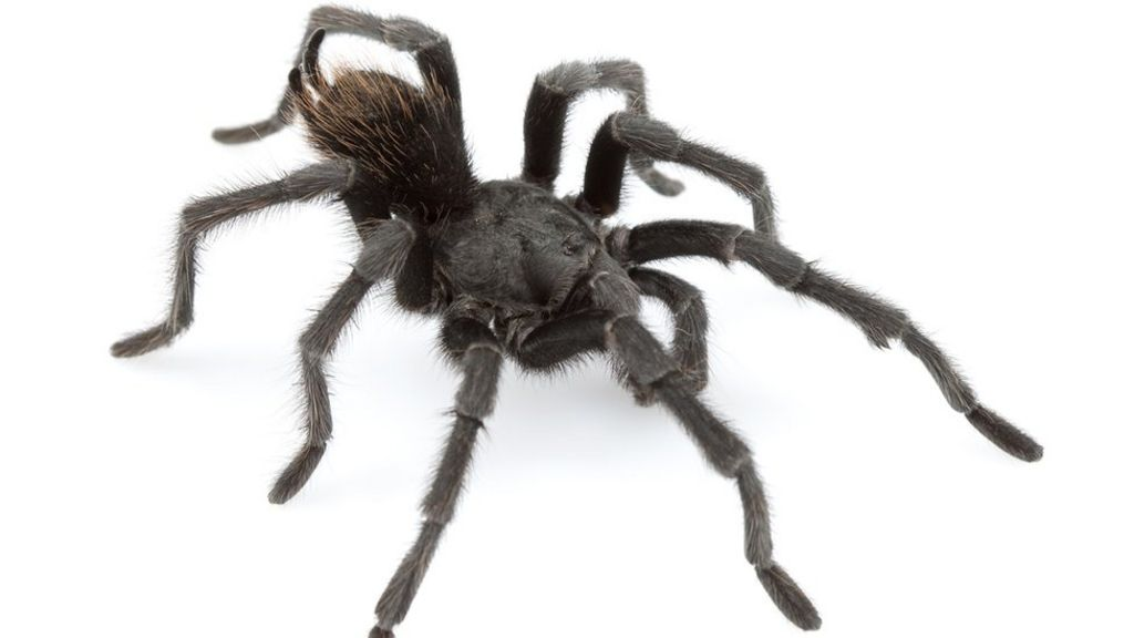 Black tarantula named after Johnny Cash - BBC News