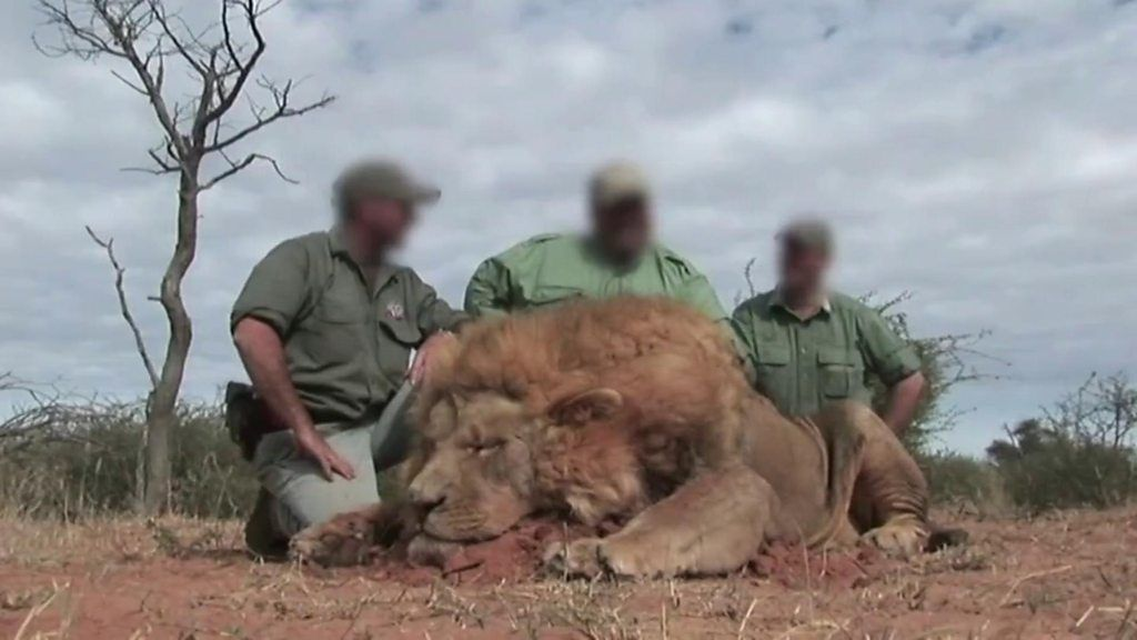 are people hunting canned lions in south africa bbc news