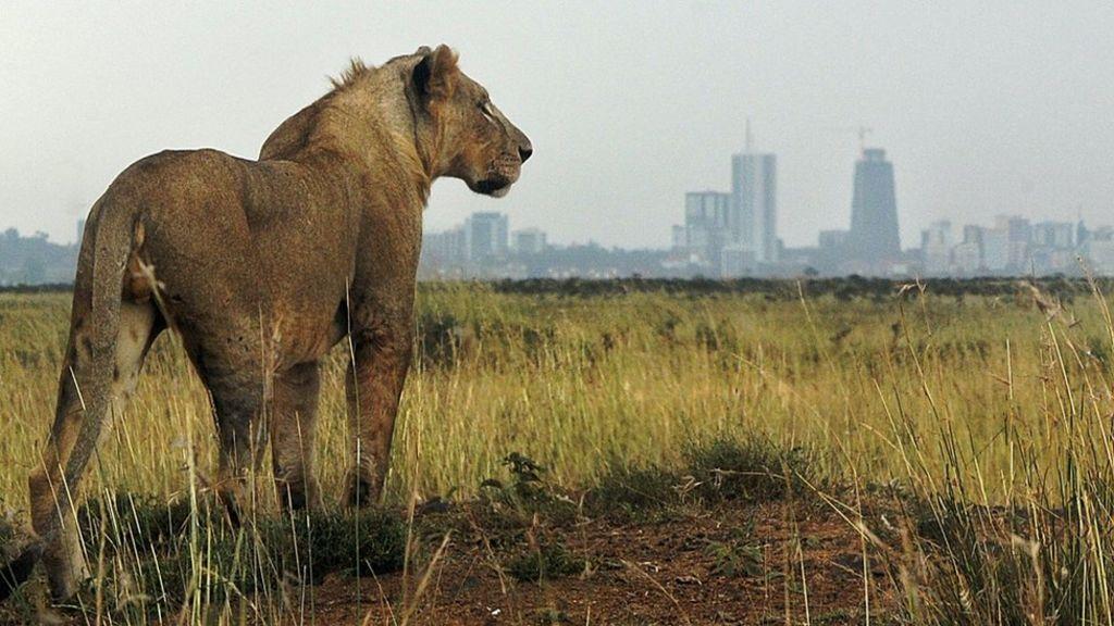 Kenya lion escape: Nairobi on alert - BBC News