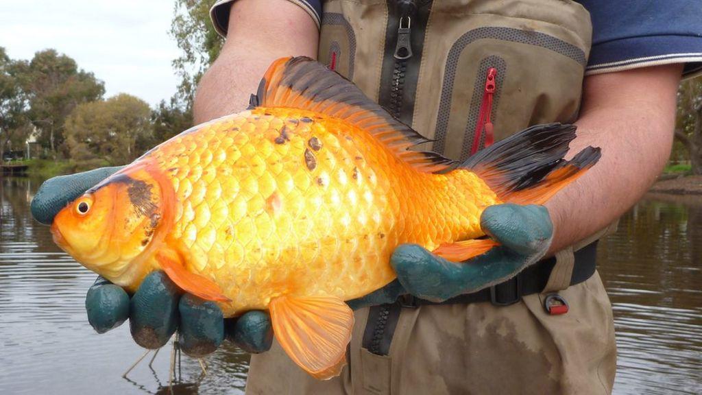 C mo los populares peces dorados terminan convirti ndose for Peces que se cultivan en estanques en panama