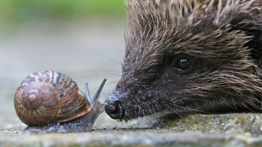 Ipswich Proves To Be A Hotspot For Hedgehogs Bbc News