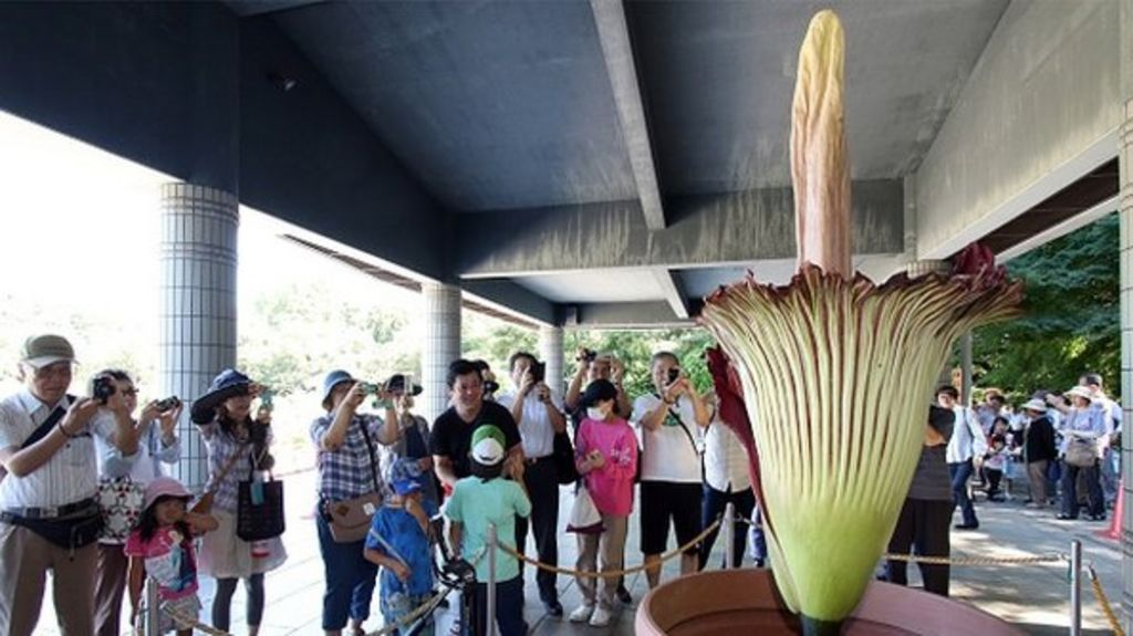 Japan: World's largest flower blooms in Tokyo park - BBC News