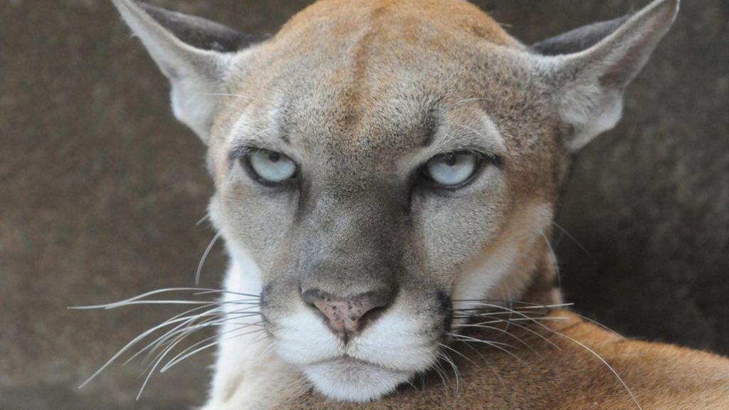 Mountain Lion 7750 Colorado mother rescue...