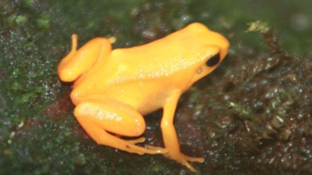 V Frog Kpm Rare frog breed...