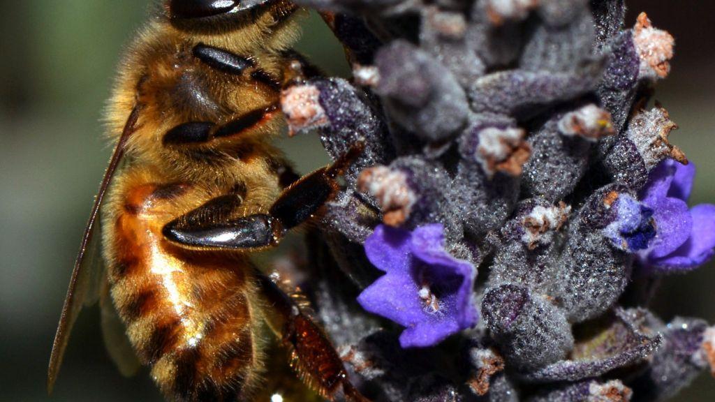 Honey bees' genetic code unlocked - BBC News