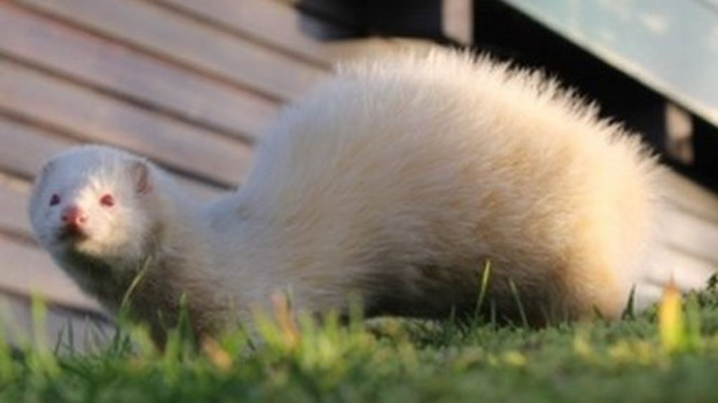 Owner Sought For Feisty Plymouth Ferret Bbc News