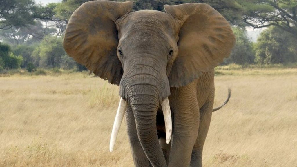 Africa elephants 39 face survival threat 39 from poaching bbc news - Image elephant ...