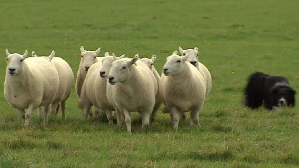 tirau dog and sheep relationship