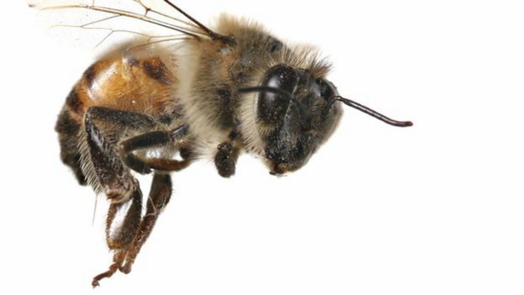 Flying threat: Why are killer bees so dangerous? - BBC News