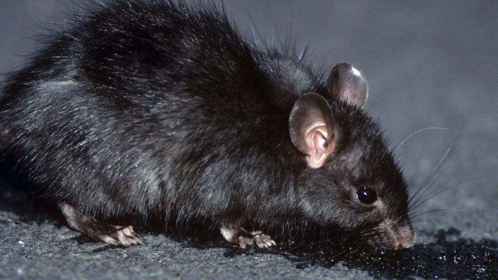 Rat Poisoning in Dogs | petMD