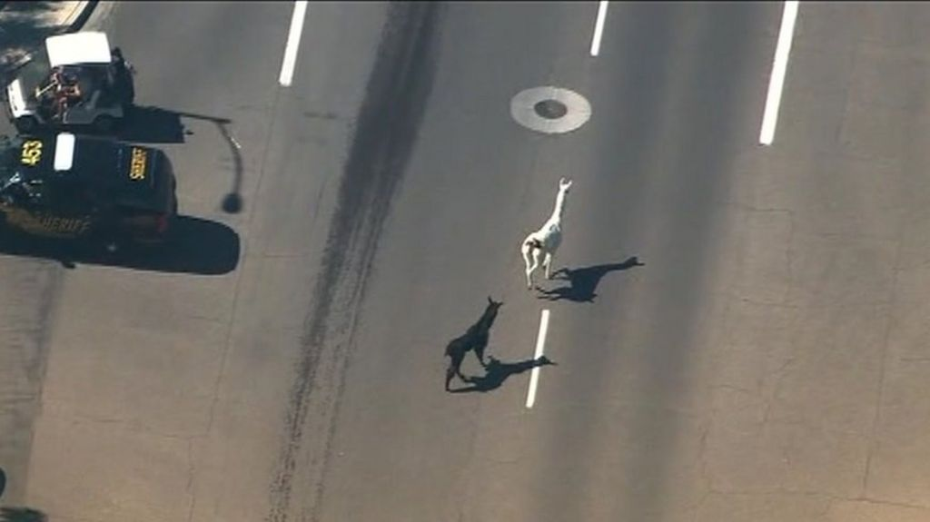 Twitter captivated by Arizona llama drama - BBC News