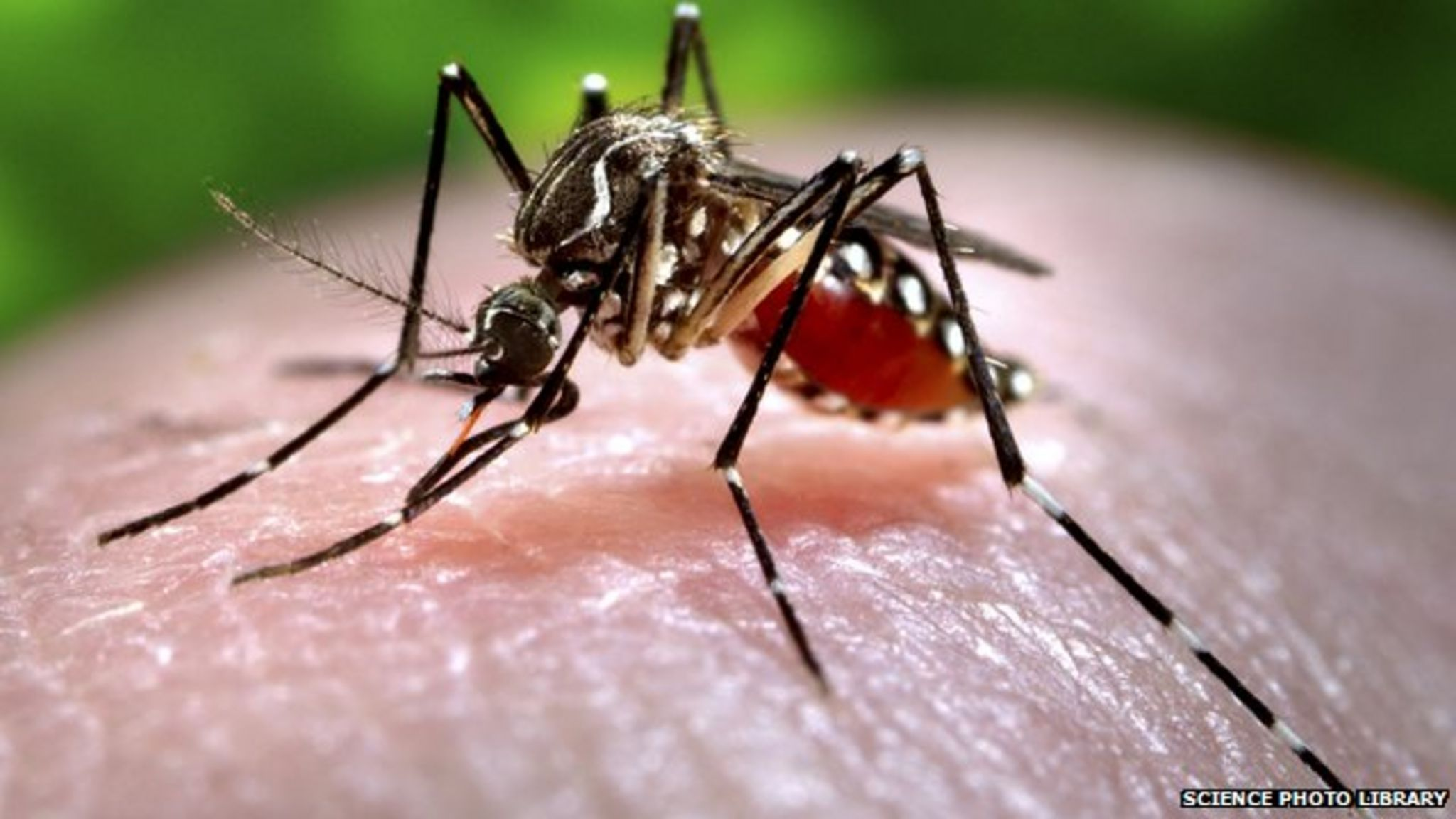 A mosquito feeding on a human