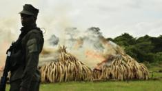 A ranger stands in front of burning ivory stacks at Nairobi National Park on 30 April