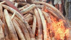 Tusks being burnt in Kenya in 1989