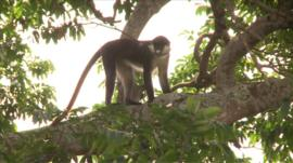 A monkey in Uganda's Zika forest