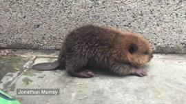 Picture of the baby beaver found in Washington