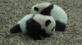 Panda cubs at Atlanta zoo