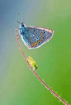 Una araña se mueve rápidamente hacia una mariposa que descansa en la punta de una rama.