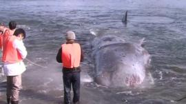 Whale beached on western Japanese coast