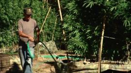 Area 101 marijuana plantation