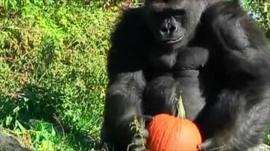 Gorilla with pumpkin