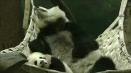 Panda cub Po and mother Lun Lun