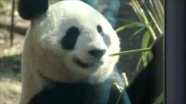 Giant panda in Tokyo zoo