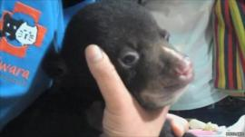 Black bear cub, rescued after being found in smuggler's luggage in Thailand, courtesy Freeland