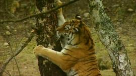 Male tiger, Vladimir at the Yorkshire Wildlife Park