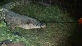 A crocodile is recaptured