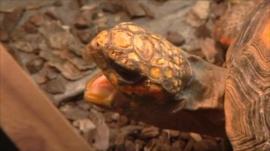 A yawning tortoise