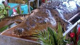 Crocodile Pocho