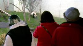 Visitors look at a giant panda in Edinburgh Zoo
