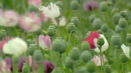 Opium field in Afghanistan