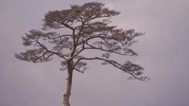 Japanese memorial tree