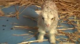 Cloned Himalayan goat