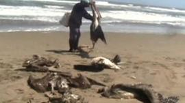 Dead pelicans on the beach
