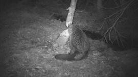 Devon beaver