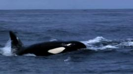 You can hear the loud trumpeting of the Humpback Whales as they try and put off the Orca attack.