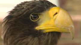 Russian Steller's Sea Eagle