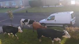 Cow on Larkfield Road, Harrogate