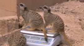 Meerkats weighing in