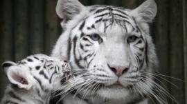 White tigers at Liberec zoo in Czech Republic
